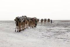 Bära för kamelhusvagn som är salt i öknen för Afrika ` s Danakil, Etiopien Royaltyfri Bild