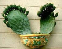Bära frukt taggig kaktus som planteras i en kruka Royaltyfria Bilder