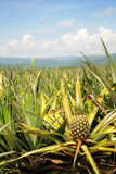 bära fruktt ananas Arkivbilder