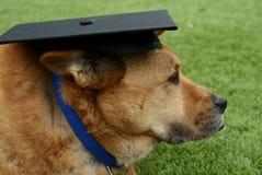 Bärande avläggande av examenlock för päls- brun hund Arkivbild
