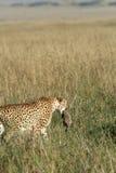 bärande cheetahgröngölingmoder royaltyfri bild