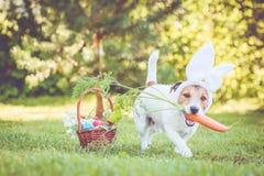 Bärande kaninöron för lycklig hund för påskpartiet som rymmer den stora moroten i mun royaltyfria foton