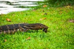 Bärande sköldpadda för bildskärmödla, medelskott, Lumph Royaltyfri Fotografi