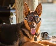 Bärande skyddsglasögon för tysk shepard Royaltyfri Fotografi