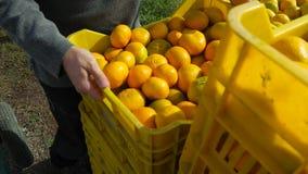 Bärande spjällådor av apelsiner och tangerin från koloni