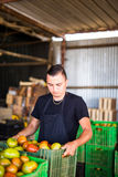 Bärande tomater för lycklig organisk bonde i askar för försäljningar in Arkivfoto