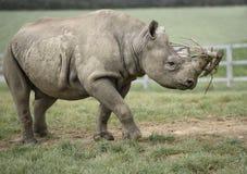 Bärande trä för noshörning Arkivfoto