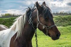 Bärande tygel för brun häst Royaltyfri Bild