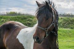 Bärande tygel för brun häst Fotografering för Bildbyråer