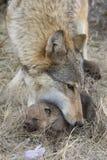 Bärande valp för kvinnlig varg vid munnen Arkivbild