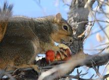 Bärande vinteräpple för ekorre Arkivbilder