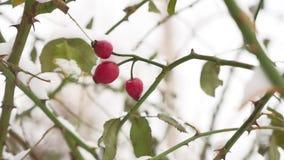 Bärbusken och bär för lös ros som övervintrar den röda täckas med snöfrost, naturen stock video