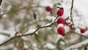 Bärbusken och bär för lös ros som glaserar den röda täckas med snövinter, naturen lager videofilmer