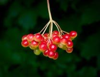 bärcranberrybush arkivfoton
