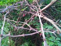 Bären av barberryen i bakgrunden av kala filialer royaltyfri fotografi