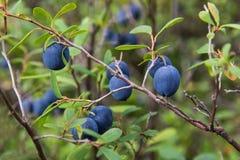 Bären av blåbärcloseupen Arkivbild