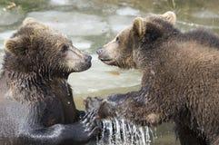 Bären im böhmischen Wald, Deutschland lizenzfreies stockfoto