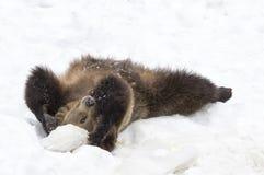 Bären im böhmischen Wald, Deutschland Lizenzfreie Stockbilder