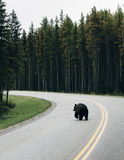 Bären an Nationalpark Banffs Lizenzfreie Stockfotos