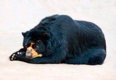Bärenhaltung Stockbild