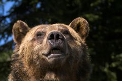 Bärenportrait Lizenzfreie Stockfotografie