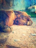 Bärenpranke Lizenzfreies Stockfoto