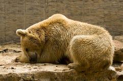 Bärenschlafen Stockbild
