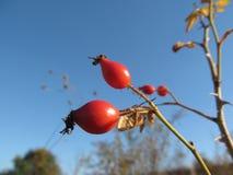 Bäret av den lösa rosen värma sig i höstsolen Fotografering för Bildbyråer
