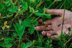 Bärjordgubbar i det gröna gräset med handen för flicka` s arkivbild