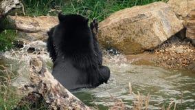 Bärn-Spiel, das im Wasser kämpft stock footage