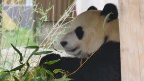 Bärnessen des großen Pandas stock footage