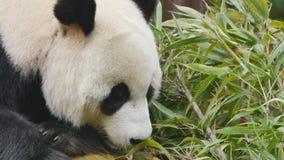 Bärnessen des großen Pandas stock video footage