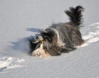 Bärtige Collie-Anschläge im Schnee Stockbild