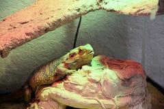 Bärtige Dragon Reptile- oder Pogona-vitticeps Stockfoto