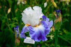 Bärtige Iris Flower Lizenzfreie Stockfotografie
