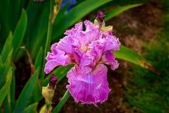 Bärtige Iris Flower Lizenzfreies Stockbild