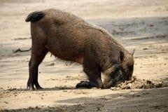 Bärtige Schweine Borneo Lizenzfreies Stockfoto