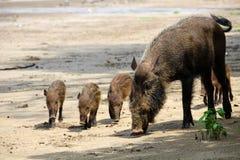 Bärtige Schweinfamilie Stockbilder