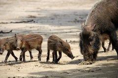 Bärtige Schweinfamilie Lizenzfreies Stockbild