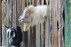 Bärtige Ziege, die durch hölzerne Bretter schaut Stockfoto