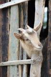 Bärtige Ziege, die durch hölzerne Bretter schaut Stockfotografie
