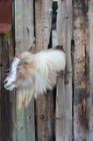 Bärtige Ziege, die durch hölzerne Bretter schaut Lizenzfreies Stockbild