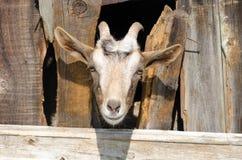 Bärtige Ziege, die durch hölzerne Bretter schaut Stockbilder