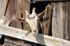 Bärtige Ziege, die durch hölzerne Bretter schaut Lizenzfreie Stockfotos