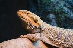 Bärtiger aalender Drache des Reptilhaustieres Lizenzfreie Stockbilder