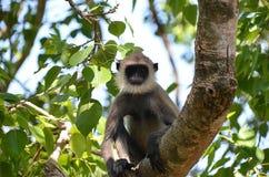 Bärtiger Affe, der auf dem Baum in der Natur sitzt Stockfotos