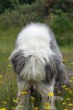 Bärtiger Collie, der die Blumen schnüffelt Stockfoto