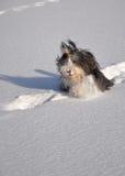 Bärtiger Collie, der im Schnee spielt Stockbilder