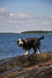 Bärtiger Collie durch den Ozean Lizenzfreies Stockfoto