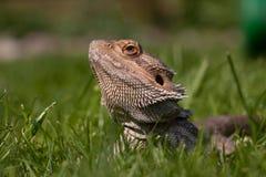 Bärtiger Drache im Gras stockfoto